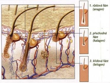 Tri fázy rastu vlasov
